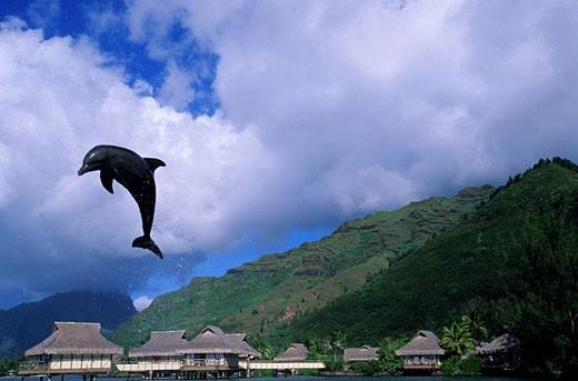France, French Polynesia, Society archipelago, Windward islands, Moorea, Intercontinental resort, dolphin : Stock Photo
