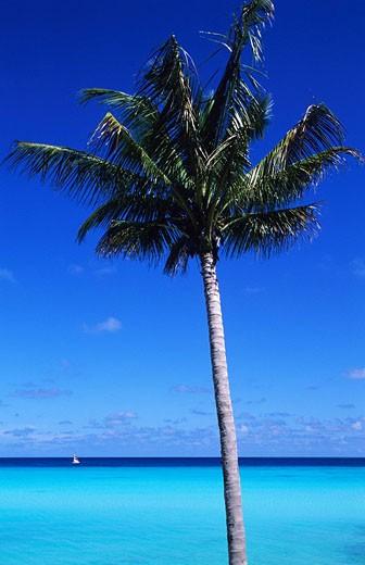 Maldive Islands, North Male Atoll, One & Only Reethi Rah Hotel, palm tree at Sunrise Beach : Stock Photo