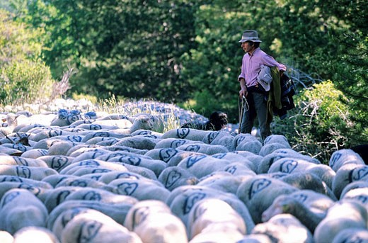 Stock Photo: 1792-74325 France, Alpes de Haute Provence, Luberon, transhumance between Oppedette and Le Contadour going through Banon, Jean Luc Pitra shepherd