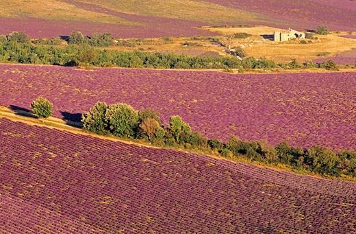 France, Vaucluse, lavender on the Plateau de Sault : Stock Photo
