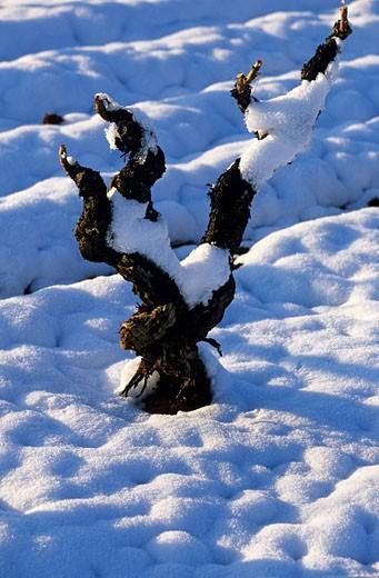France, Vaucluse, Luberon, vine under the snow, around Apt : Stock Photo