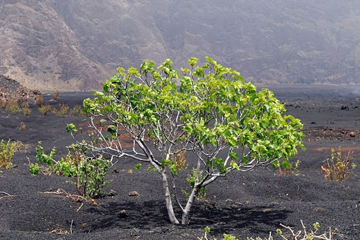 Cape Verde, Fogo Island, fig tree in Fogo Volcano caldera : Stock Photo
