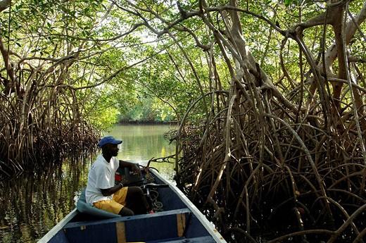 Senegal, Saloum River Delta, mangrove swamp in Sine Saloum area, Biosphere Reserve : Stock Photo