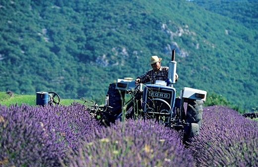 Stock Photo: 1792-79742 France, Vaucluse, Luberon, Auribeau, cutting lavender