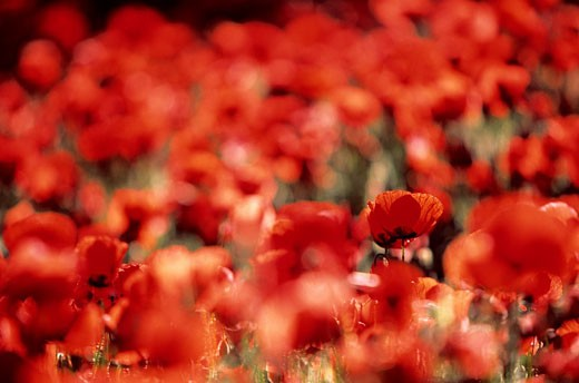 France, Vaucluse, poppies field : Stock Photo
