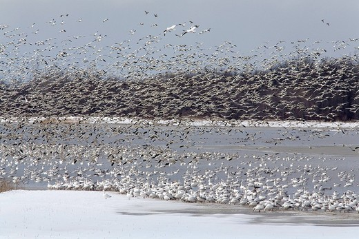 Canada, Quebec province, Baie du Febvre, on the southern bank of Lake Saint Pierre, between Montreal and Quebec, spring white gooses migration : Stock Photo