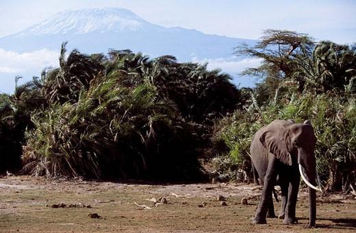 Stock Photo: 1792-87488 Kenya, Amboseli National Park, Mount Kilimanjaro in the background