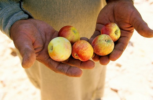Stock Photo: 1792-89617 Egypt, Sinai Peninsula, Saint Catherine, Djebal Valley, bedouin showing apples