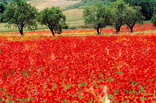 France, Bouches du Rhone, Aix en Provence country, poppies and almond trees : Stock Photo