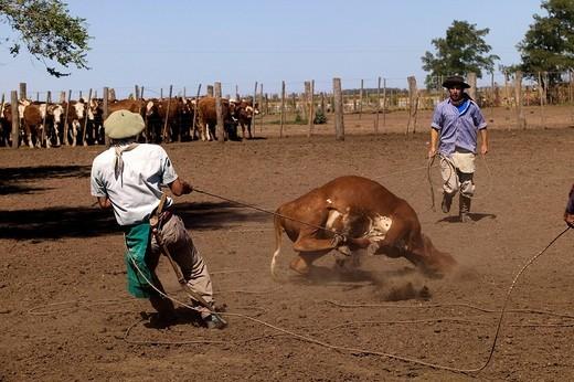 Stock Photo: 1792-94340 Argentina, Buenos Aires Province, Estancia San Isidro del Llano, gauchos