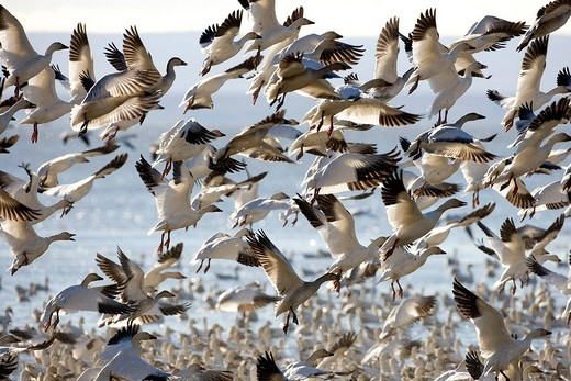 Canada, Quebec, Saint Laurent river, Snow Goose Chen caerulescens, migration : Stock Photo