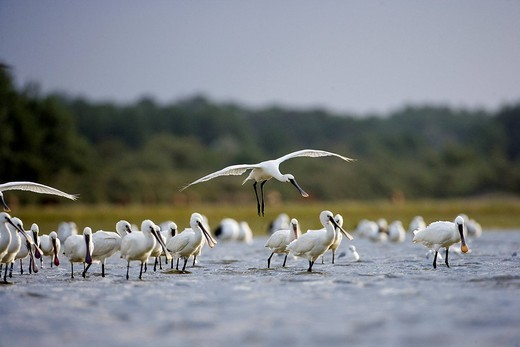 France, Somme, Picardie, Baie de Somme, Marquenterre Ornithological Park, Common Spoonbill Platalea leucorodia : Stock Photo