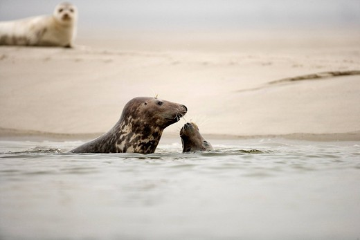 France, Somme, Picardie, Baie de Somme, Gray Seal Halichoerus grypus, Harbor Seal Phoca vitulina : Stock Photo