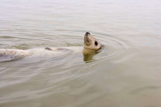 France, Somme, Picardie, Baie de Somme, Gray Seal Halichoerus grypus : Stock Photo