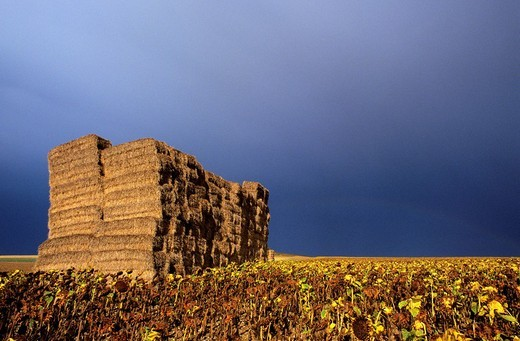 France, Deux Sevres, baled hay in a sunflower field : Stock Photo