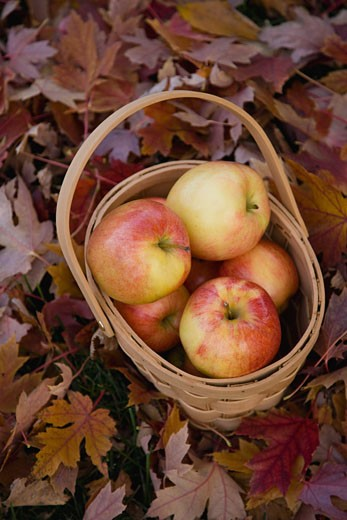 Basket of apples on pile of autumn leaves : Stock Photo
