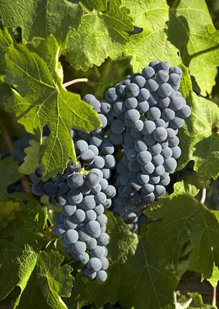 Closeup of California wine grapes : Stock Photo