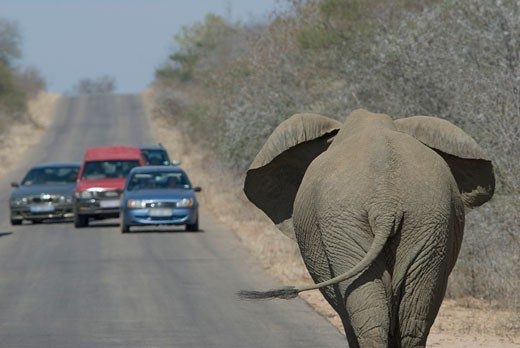 Stock Photo: 1795R-16206 Cars stopping to watch elephant on road