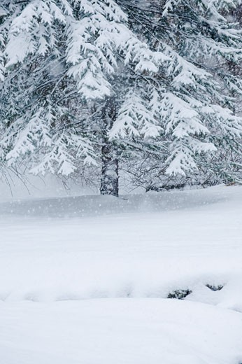 Snowy forest in winter : Stock Photo