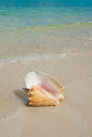 Conch shell on beach : Stock Photo