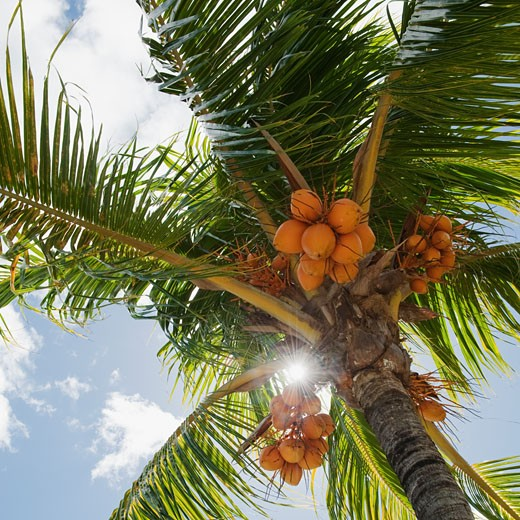 Coconuts in palm tree : Stock Photo