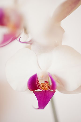 Close up of orchid : Stock Photo