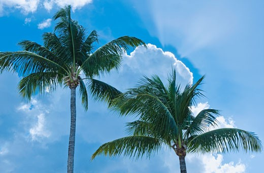 Stock Photo: 1795R-19760 Palm trees and blue sky