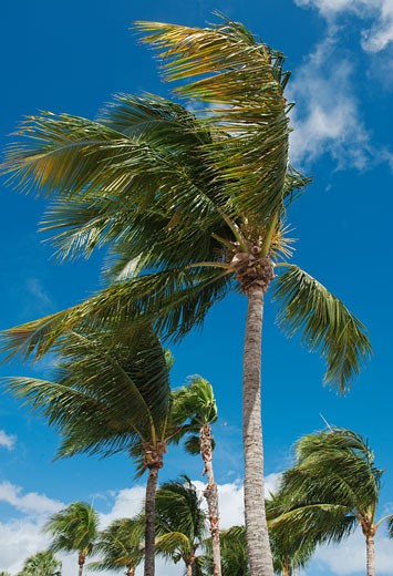 Stock Photo: 1795R-19765 Palm trees in wind