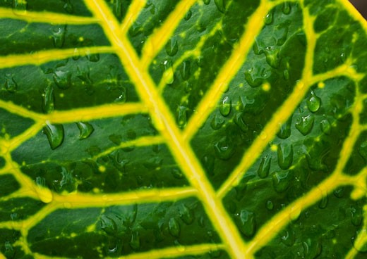Stock Photo: 1795R-19770 Close up of wet tropical leaf