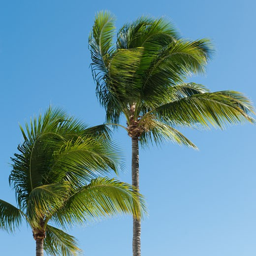Stock Photo: 1795R-19796 Palm trees in wind