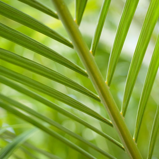 Close up of palm leaf : Stock Photo