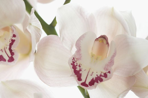 Stock Photo: 1795R-2274 Still life of orchids