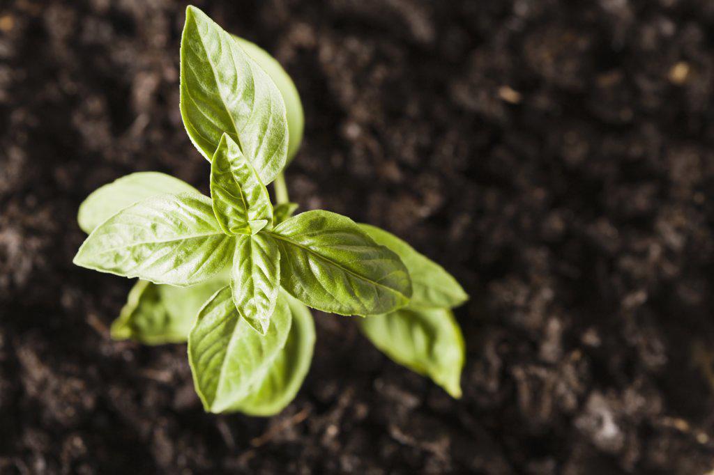 Herb basil : Stock Photo