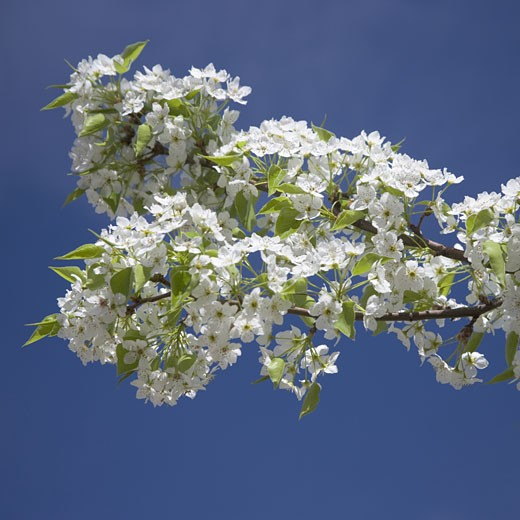 Stock Photo: 1795R-2442 Branch of blossoming tree