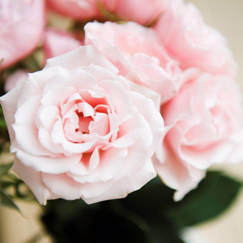 Stock Photo: 1795R-30779 Pink garden roses