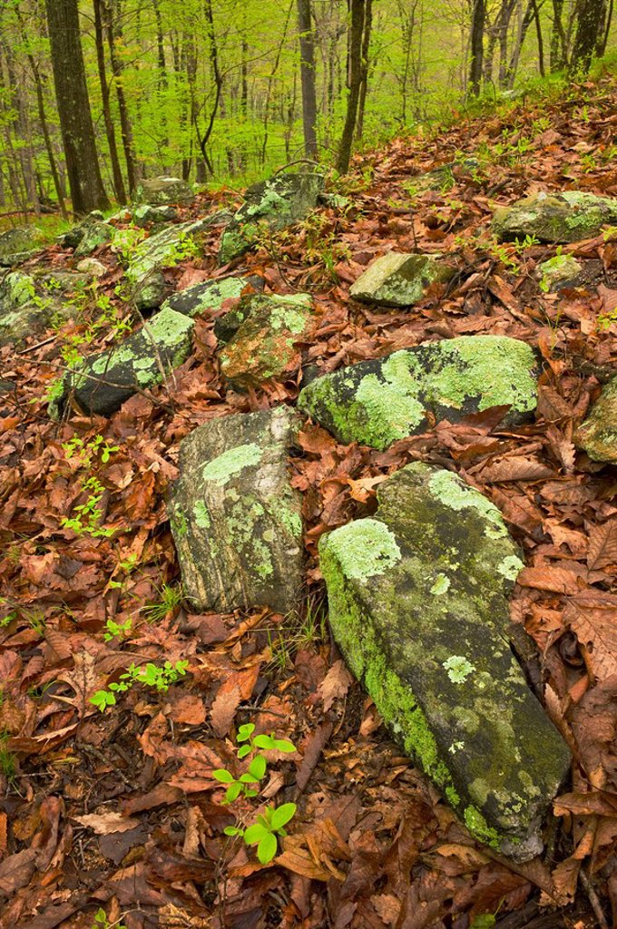 Rocks on forest floor in Ward Pound Ridge Reservation : Stock Photo