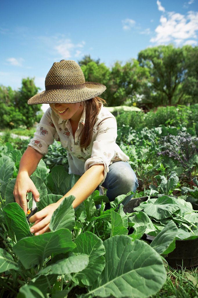 Young woman picking cabbages in field : Stock Photo