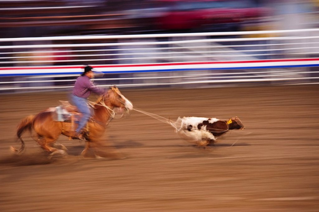 Calf roping : Stock Photo