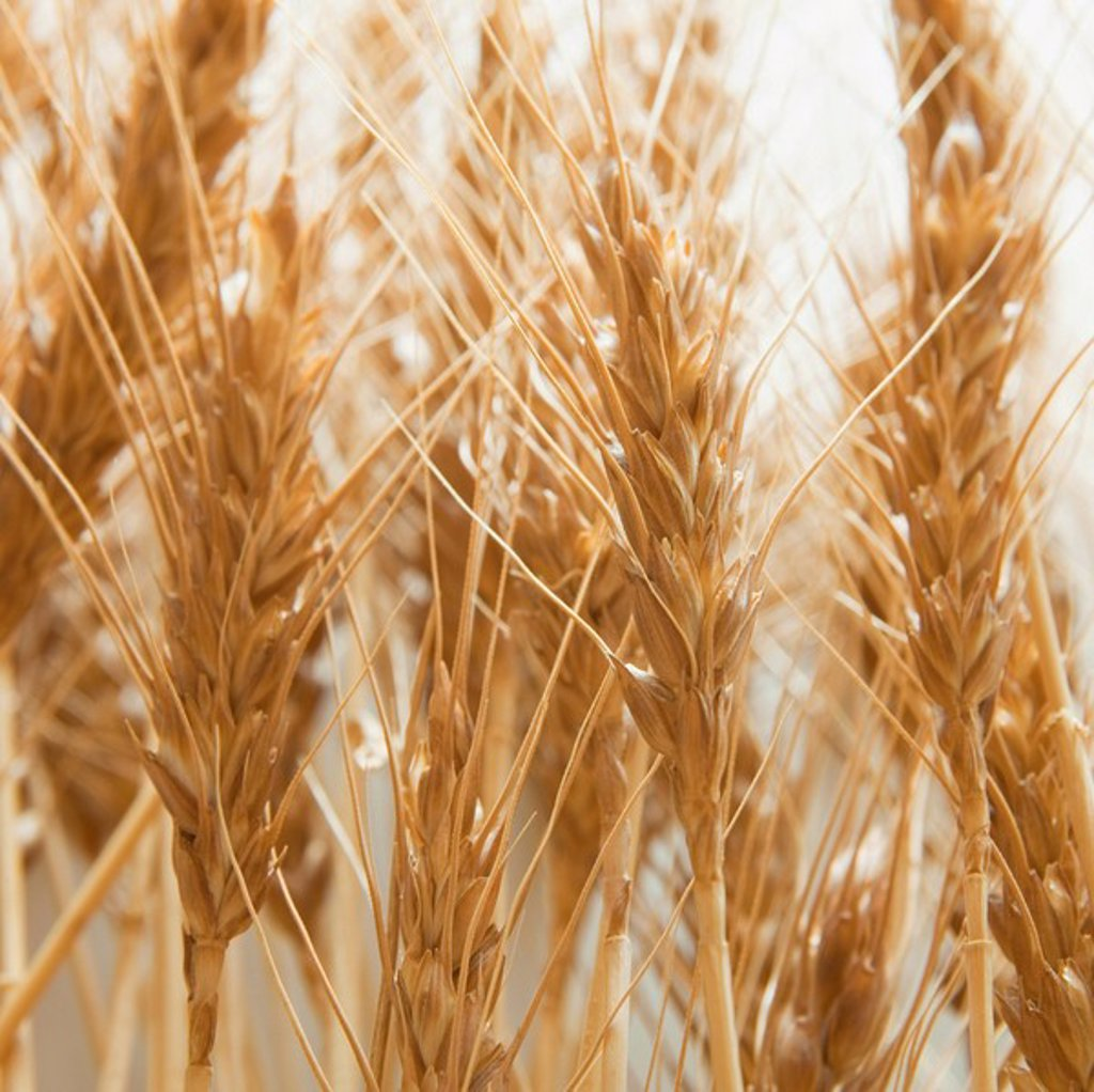 Wheat : Stock Photo