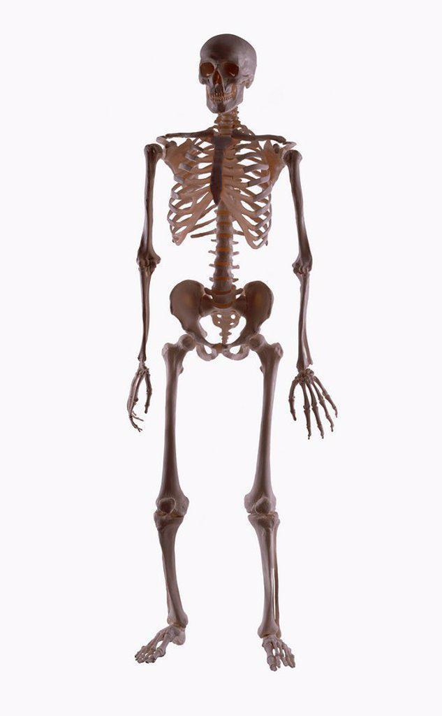 Skeleton : Stock Photo
