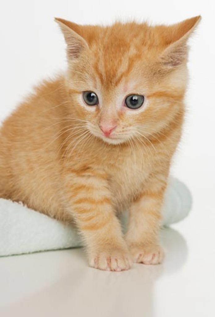 Stock Photo: 1795R-3994 Portrait of a kitten