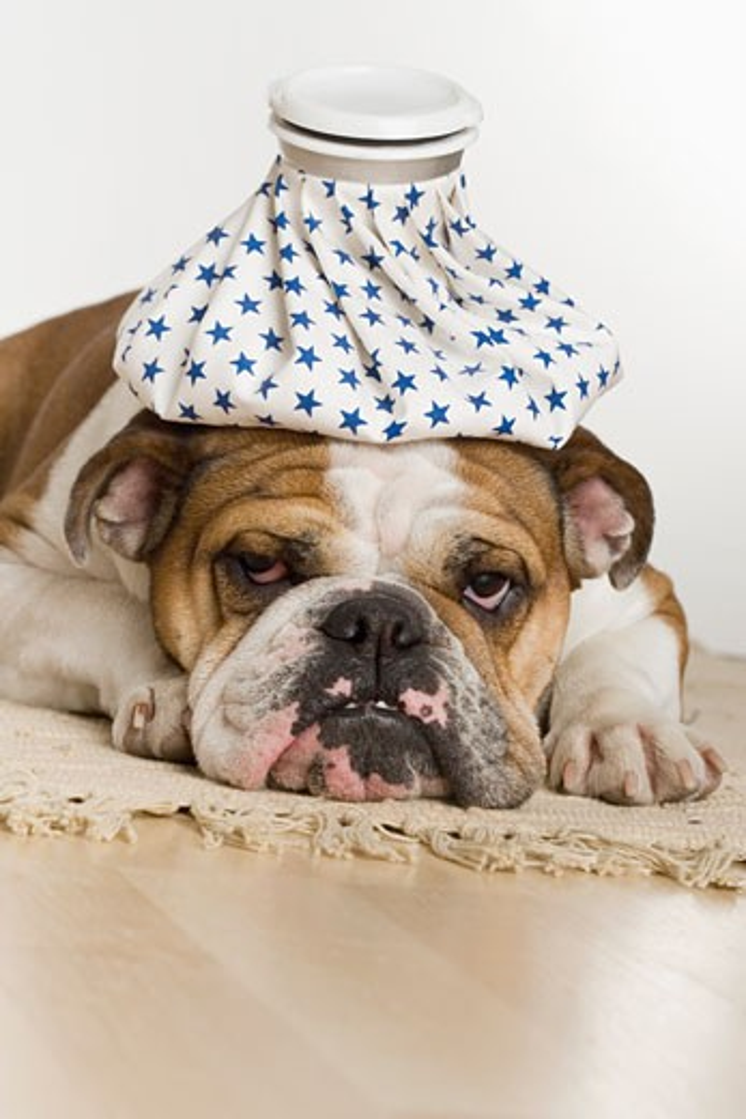 Stock Photo: 1795R-4025 Bulldog with an icepack on head