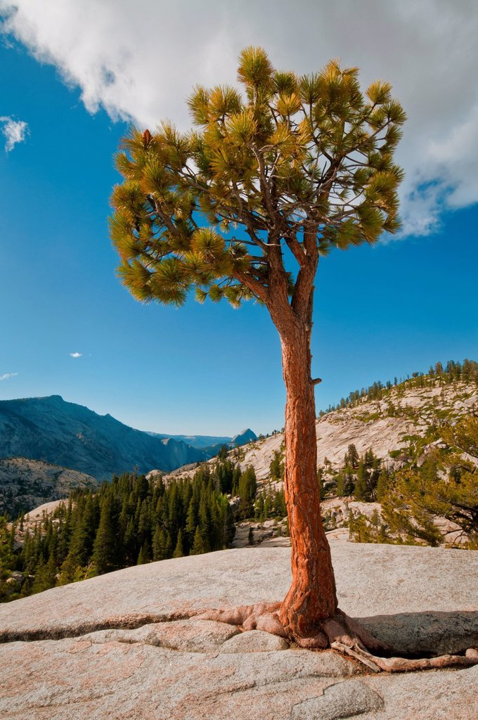 USA, California, Pine tree on rock : Stock Photo