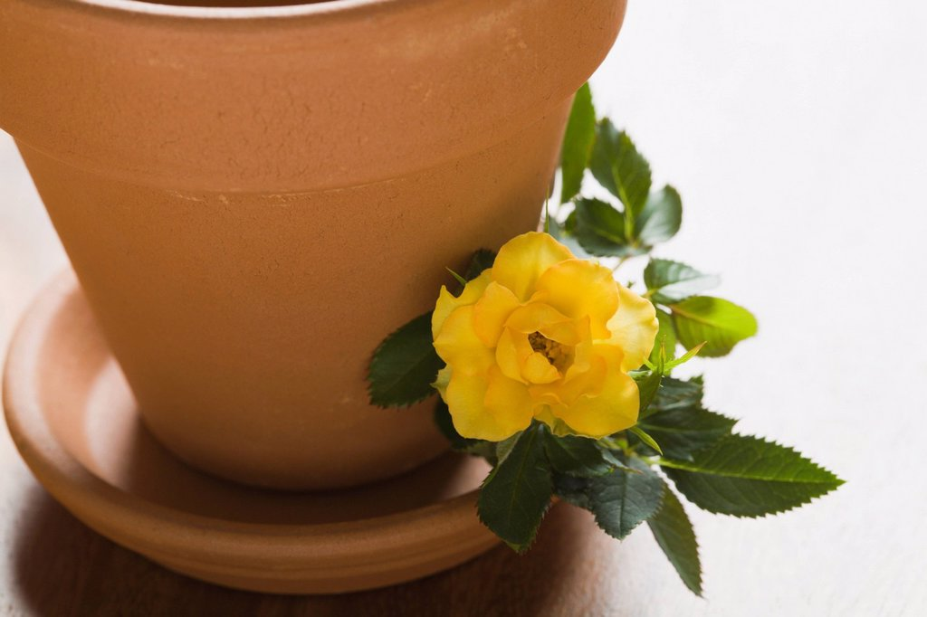 Studio shot of yellow rose and flower pot : Stock Photo