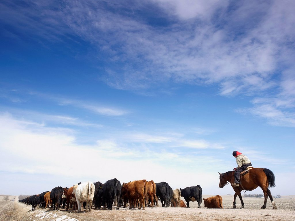 Stock Photo: 1795R-42205 USA, Nebraska, Great Plains, horse rider driving cattle