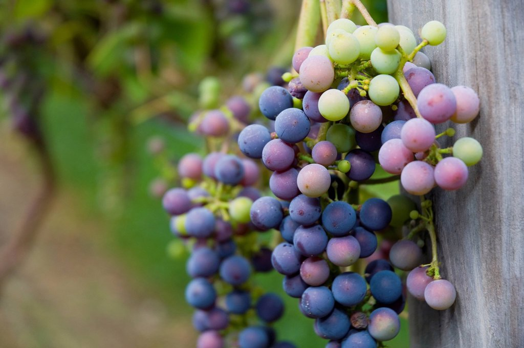 Stock Photo: 1795R-46918 USA, Vermont, Woodstock, Bunch of unripe grapes