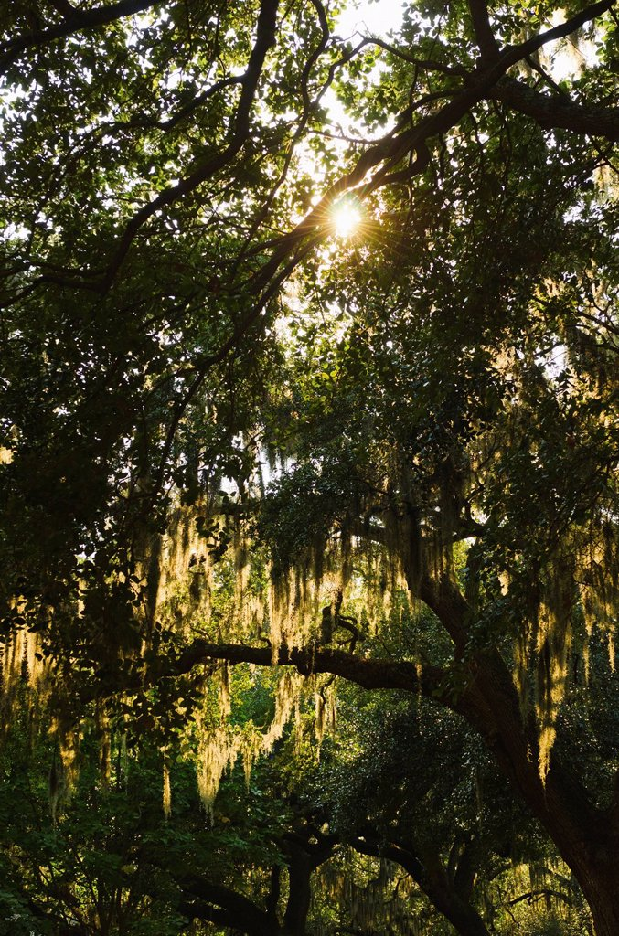 USA, Georgia, Savannah, Oak trees with spanish moss : Stock Photo