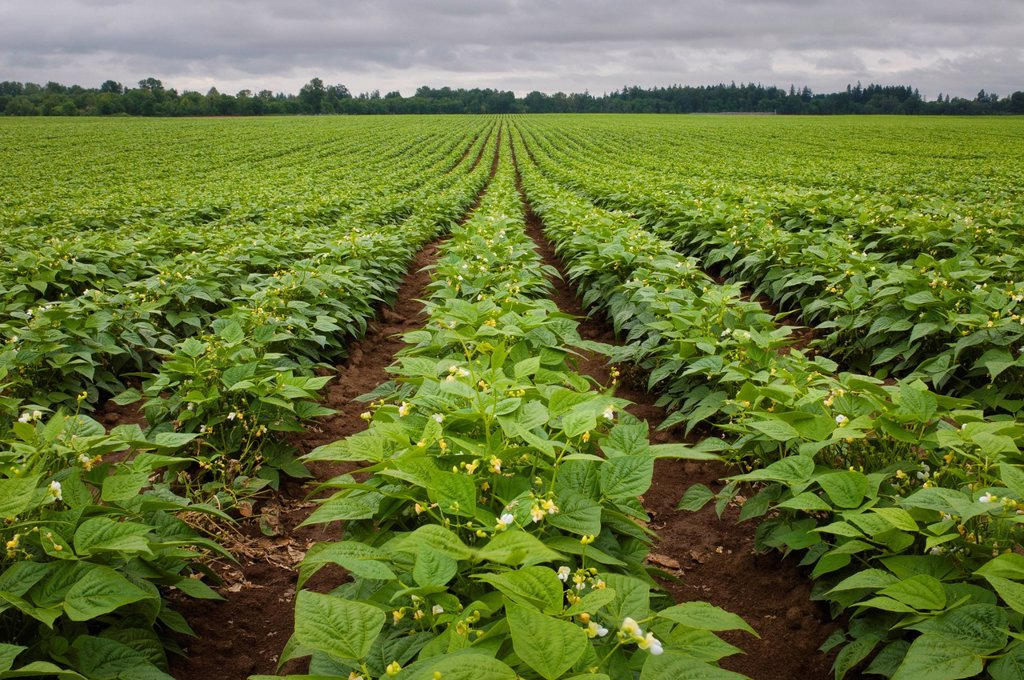 Stock Photo: 1795R-55909 USA, Oregon, Marion County, Field of green beans blooming