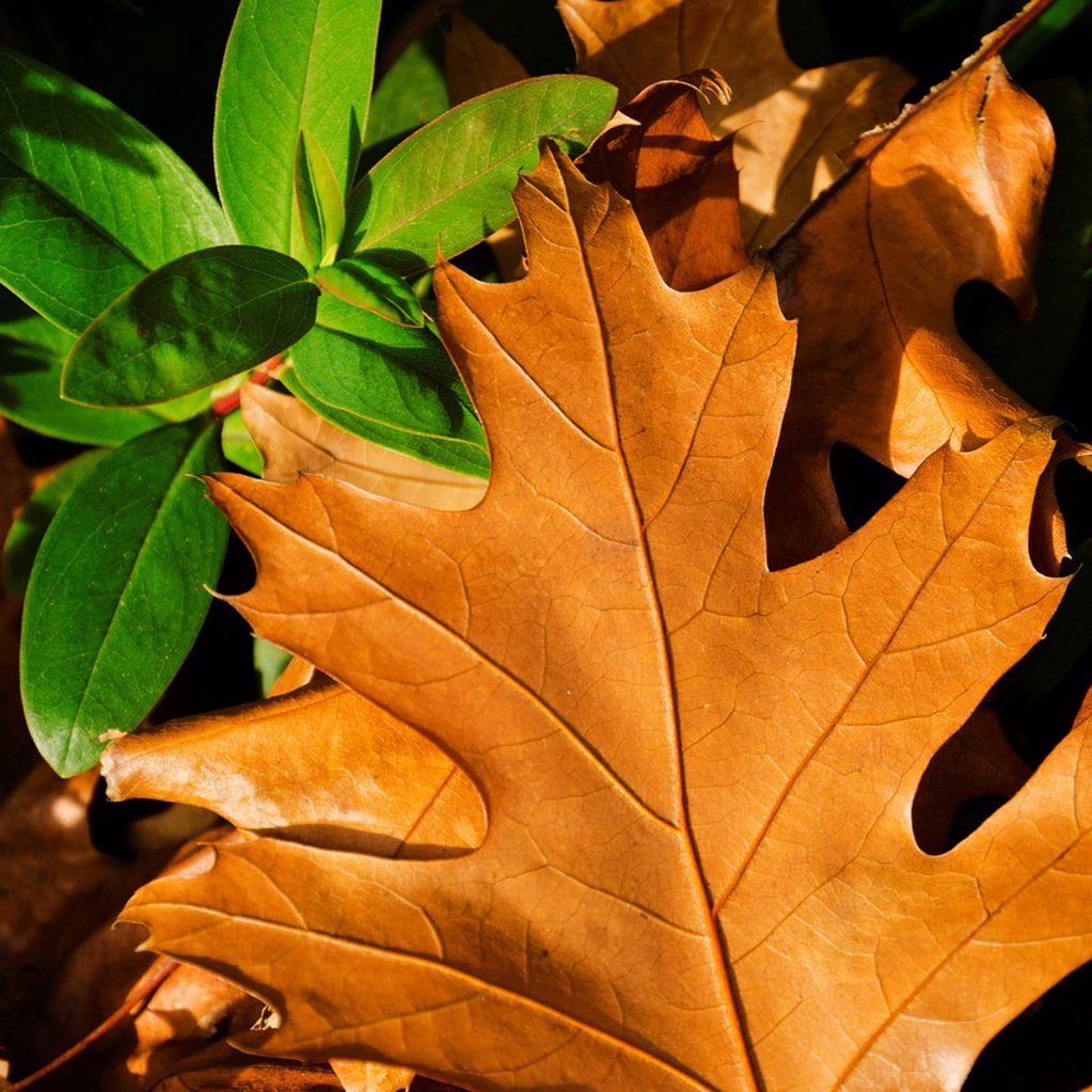 Stock Photo: 1795R-58901 Close-up of brownish and green leaves