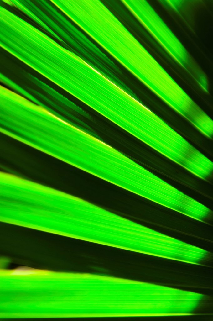 Stock Photo: 1795R-65509 Palm leaf